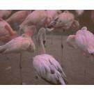 Rose, de l'artiste Brigitte Thériault, Photographie sur plexi mat, dimension : 20 x 24 po de largeur